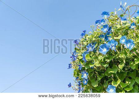 Morning Glory Flower Agent Blue Sky