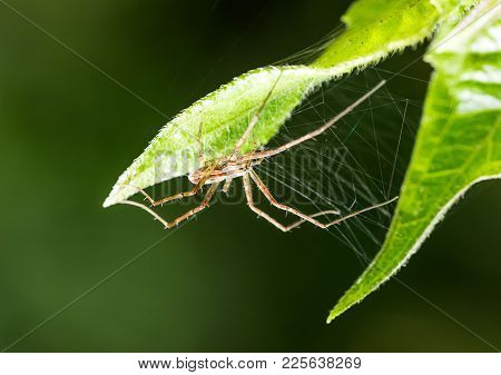 Spider And Spider Web On Green Leaf In Forest, Spiders Have Fangs That Inject Poison Into Their Prey