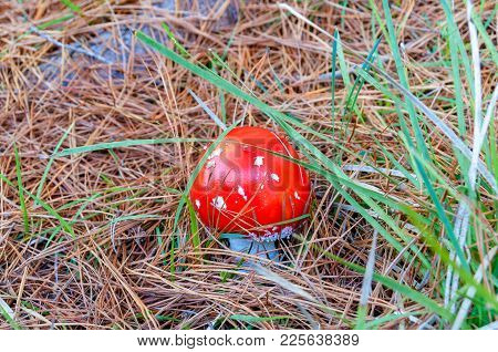 Close Up Of Bright Red Fly Agaric Mushroom. Nature Background