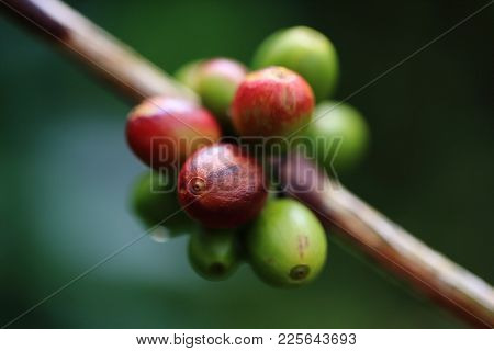 Close Up Of Green Coffee Beans On A Branch Of Arabica Coffee Tree, With Ripe Fruits ,thailand