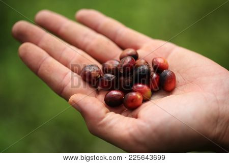 Close Up Of Green Coffee Beans On A Hand Of Farmer ,arabica Coffee Tree, With Ripe Fruits ,thailand