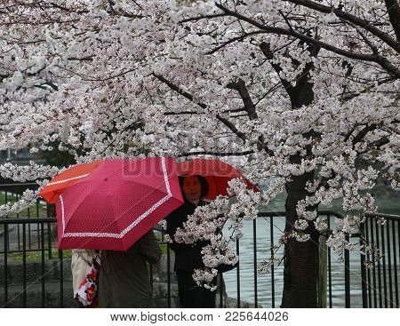 Kyoto, Japan- April 7, 2017: Three Women With Red Umbrellas Under A Cherry Tree In Full-bloom On A R