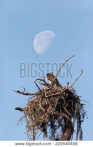 Waxing Gibbous Half Moon Over An Osprey Bird Pandion Haliaetus