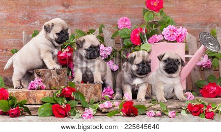 puppy pug and flowers roses