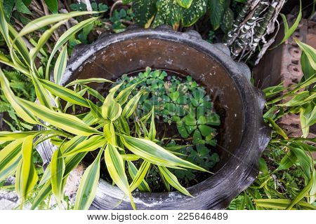 Aquatic Plant In The Earthenware Pot For Decorate The Garden, Thailand Decoration