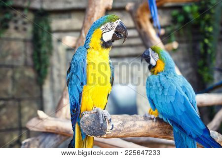 Two Blue Yellow Parrots Macaw On Branch Of Old Tree. Ara Ararauna, Macaw Parrot
