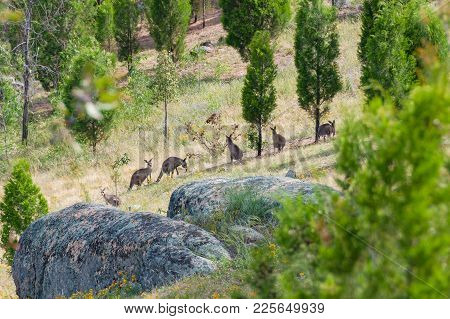 Kangaroo Mob In A Wild. Australian Wildlife Landscape Of Grazing Kangaroos