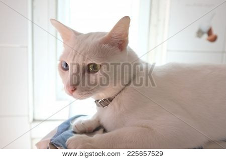 The Siamese Pure White Cats Face. The Cat Odd Eyes Has One Golden Eye And One Blue One. Concept Cute