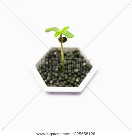 Hemp Germ In A Hydraponic Plant On A Light Background