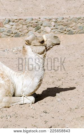 Camel Lies On The Sand. Portrait Of Camel.