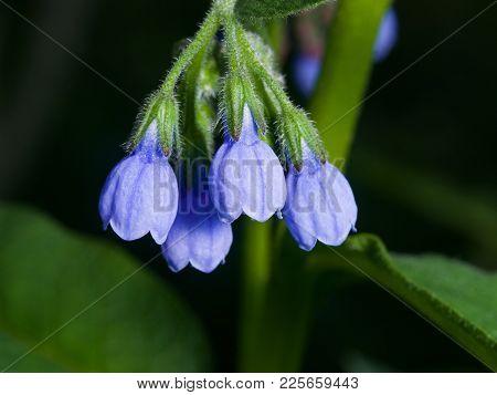 Blossom Prickly Comfrey, Symphytum Asperum, Flowers And Leaves Close-up, Selective Focus, Shallow Do