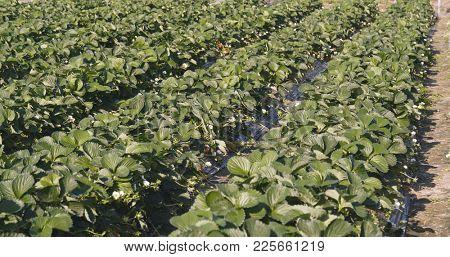 Strawberry field row