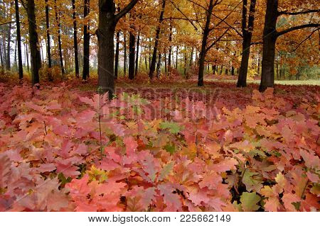 Many Red Leaves Of Oak Trees Growing In The Park Near The Oak Trees With Yellow Leaves