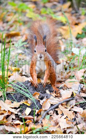 Squirrel Standing On Autumn Dry Leaves With Brown Coat And White Chest