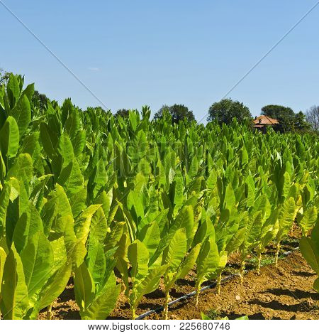 Tobbaco Plantation In Tuscany. Italy Is The Most Important Tobacco Producing Country In Europe.