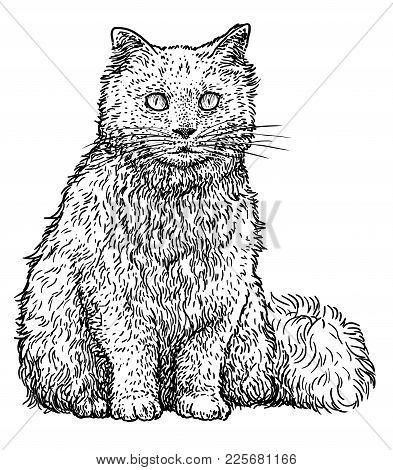 Persian Cat Illustration, Drawing, Engraving, Ink, Line Art