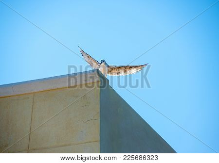 White Pigeon With Open Wings In Front Of A  Clear, Bright Blue Sky  Landing On The Roof Corner. Dove
