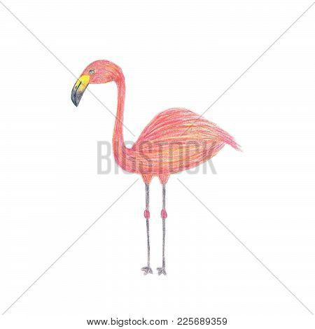 Colored Pencil Drawing, Sketch, Illustration Of Pink Flamingo Isolated On White Background.
