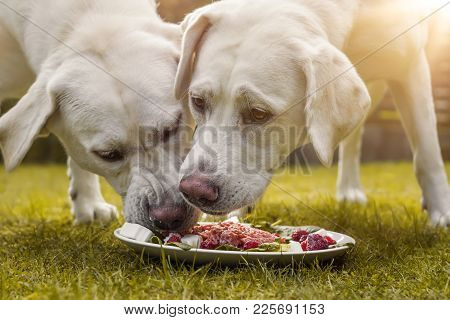 Young Cute White Hungry Labrador Retriever Dogs Puppies Eating Some Meat Dog Food From Plate In Gard
