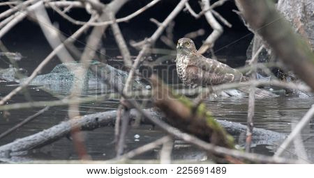 Rough-legged Buzzard (buteo Lagopus).  Animal And Nature Background. Wildlife. Ukraine 2018