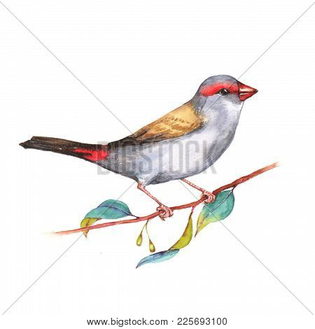 Hand-drawn Watercolor Illustration Of The Red-browed Finch On The Branch. Wild Colorful Bird Drawing