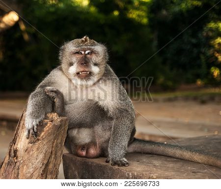 An Adult Male Long-tailed Macaque Sits On A Stone With His Right Arm And Left Leg On A Stump. The An