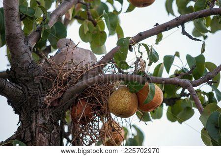 Thug Bird In Nest In A Pear Tree