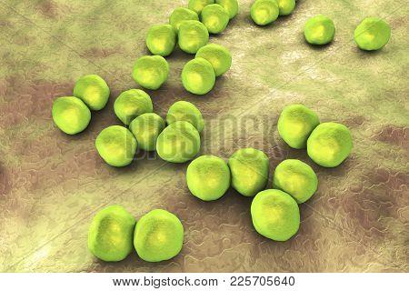 Veillonella Bacteria, Gram-negative Anaerobic Cocci, Part Of Intestine And Oral Microflora And The C