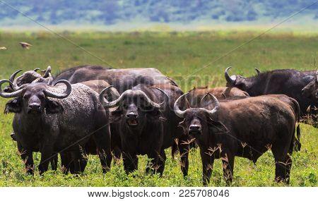 Herd of african buffalos close up. Volcano NgoroNgoro, Tanzania poster