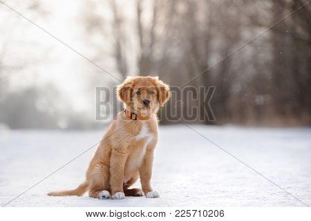 Nova Scotia Duck Tolling Retriever Puppy Posing In Winter