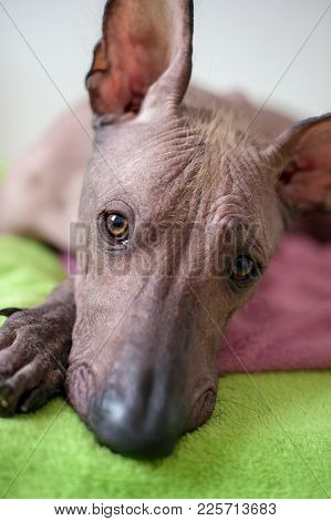 A Mexican Hairless Dog Looks At The Camera