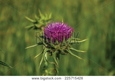 Unusual Flower View Amidst Green Fields Near The Town Of Frascati, A Pleasant And Well-known Place F