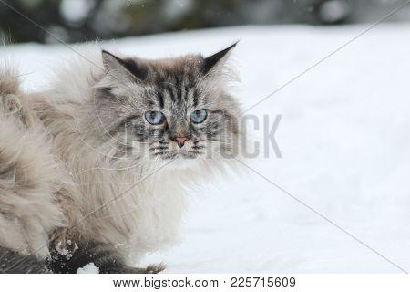 Big Furry Cat Walks In The Snow, Pet Care