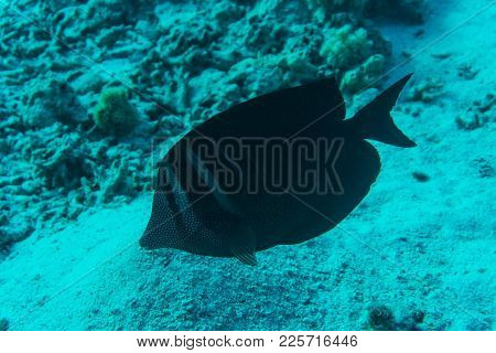 Dusky Surgeonfish With Unique Black Tropical Fish Swimming In The Stunning Coral Reef