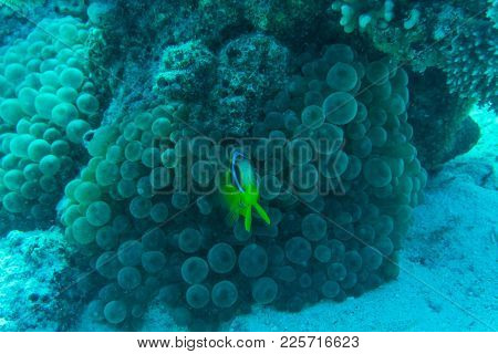 Coral Reef Scene With Red Sea Raccoon Butterflyfishes Underwater