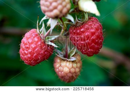 Organic Raspberries On Bush, Copy Space. Cultivation, Food. Raspberry Plantation. Growing Berries Cl