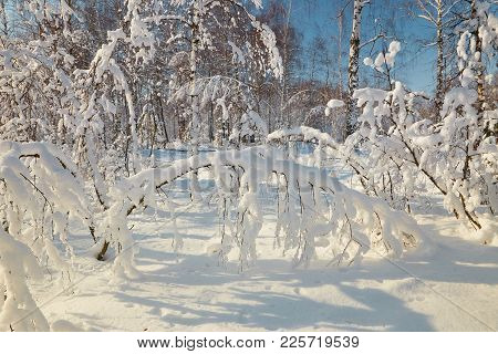 Snow Forest In Clear Weather. Trees Bent Under The Weight Of Snow