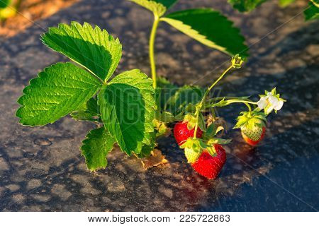 Plant Of The Garden Strawberry Or Fragaria Ananassa Growing On The Field Using The Plasticulture Met