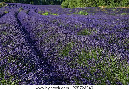 View Of Field Of Lavender Flowers Under Sunny Sky, Near The Village Of Roussillon. Located In The Va