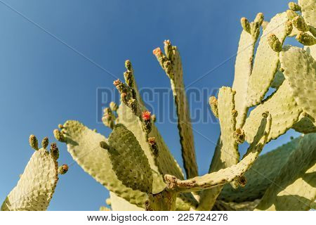 Tropical Green Blossom Cactus Plant With Fruit In Red Color, Cactus Spines. Prickly Pear Cactus Clos