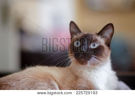 Young, Alert, Female Siamese Cat Indoors, With Eyes Wide Open