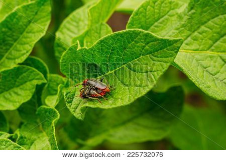 Mating Soldiers Beetles On The Leaves Of Potatoes. Beetle Firefighter