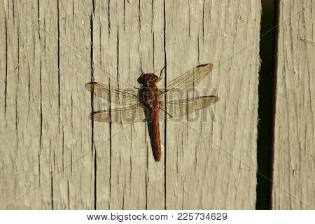 The Dragonfly Is Heated In The Last Summer Rays Of The Setting Sun.