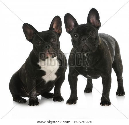 litter mates - two french bulldog puppies with reflection on white background