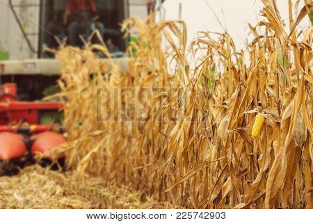 Harvesting Corn Crop Field. Combine Harvester Working On Plantation. Agricultural Machinery Gatherin