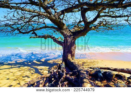 Tree With Exposed Roots On A Rural Sandy Tropical Beach Taken At The North Shore In Oahu Hawaii