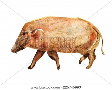 Watercolor Image Of Red River Hog On White Background