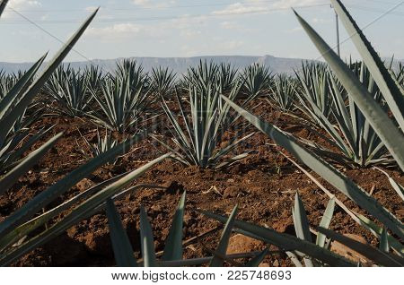 A Blue Agave Standing Out From Agave Groove Field