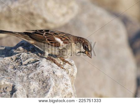 Cute Common Sparrow Bird Sitting On A Stone