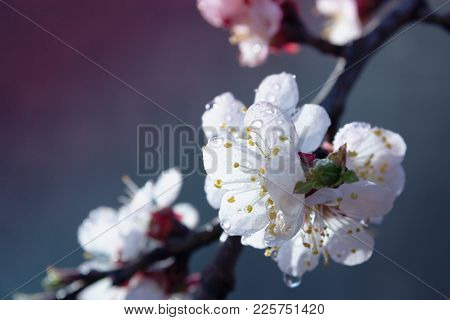 Apricot Tree Flowers. Spring White Flowers On A Tree Branch. Apricot Tree In Bloom. Spring Seasons T